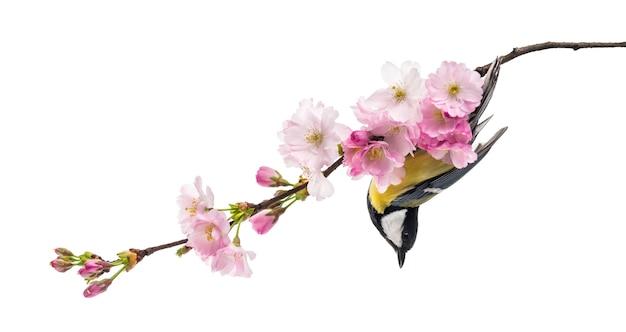 シジュウカラは、白で隔離された、parusmajorの開花枝にとまりました。