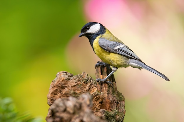 Great tit sitting on wood in springtime nature with blooming flowers behind