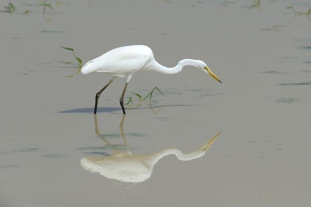 대단한 흰 백로 야생 동물 연못에 서