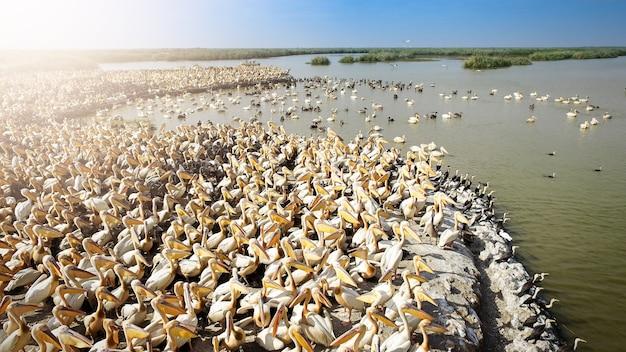 エチオピア最大の湖であるタナ湖の海岸にあるモモイロペリカン(東部の白いペリカン、バラ色のペリカン、または白いペリカン)。