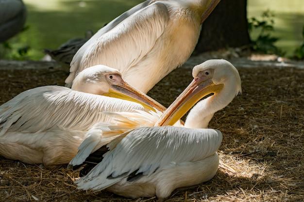 Большой белый пеликан, pelecanus onocrotalus, также известный как восточный белый пеликан, розовый пеликан или белый пеликан, относится к семейству пеликанов.