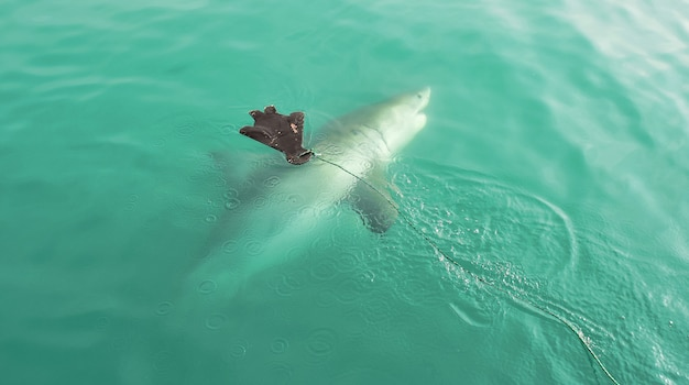 Great white shark chasing seal decoy