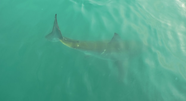 Great white shark in open water, close to water surface, in gansbaai south africa.