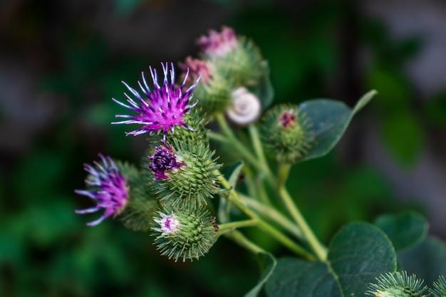큰 우엉 또는 식용 우엉 꽃(arctium lappa)