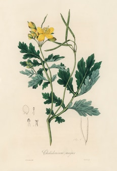 Greater celandine (chelidonium majus) illustration from medical botany (1836)