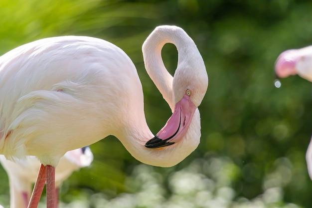 Большой фламинго крупным планом портрет
