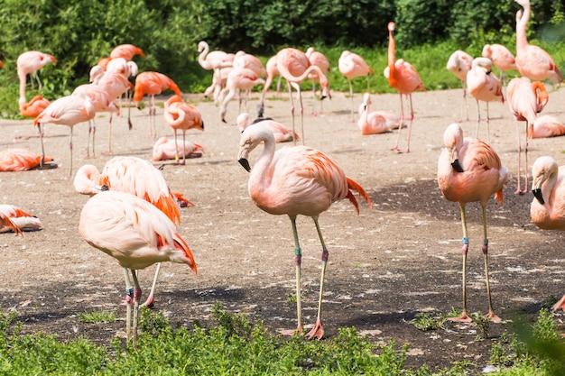 Greater flamingo, nice pink big bird, animal in the nature habitat