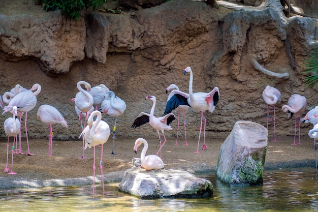 Greater flamingos (phoenicopterus roseus) at the bioparc fuengirola