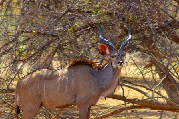 クーズーの男性は長い草の中にクローズアップします。ナミビアのエトーシャ国立公園。