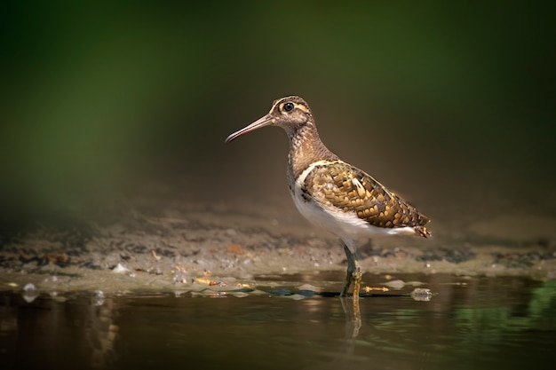Greater painted-snipe bird looking for food in the swamp