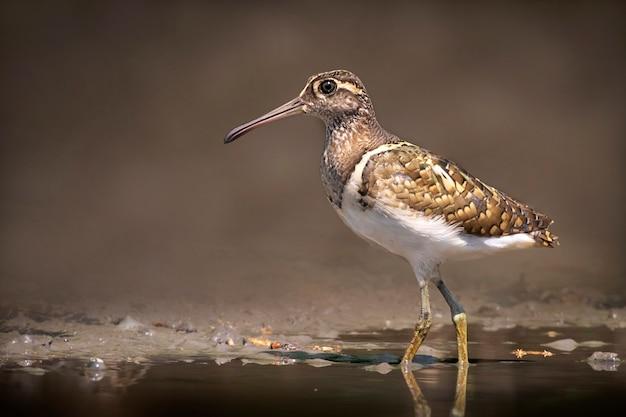 Большая раскрашенная птица-бекас в поисках пищи на болоте