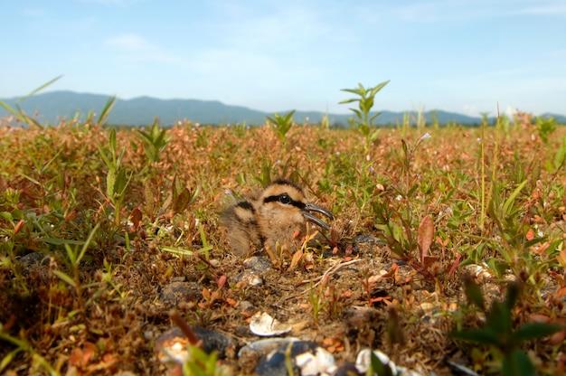 Большой окрашенный бекас rostratula benghalensis