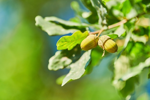コピースペースのあるオークの枝に緑のドングリ