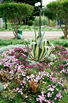 Green agave grows in a flower bed among bright pink flowers
