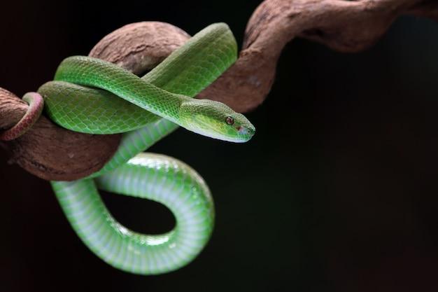 緑のアルボラリスヘビの側面図動物のクローズアップ緑の毒蛇のヘビのクローズアップの頭