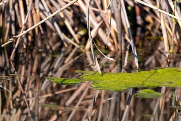 Зеленые водоросли в пруду