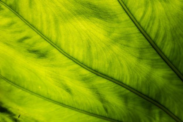 도시의 야외에서 녹색 alocasia odora 잎