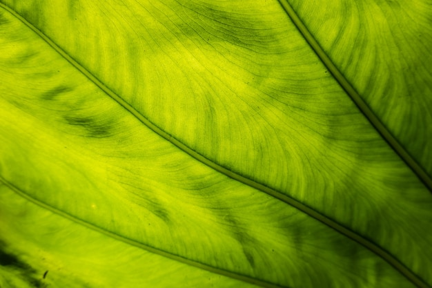 Green alocasia odora leaf in the outdoor of city