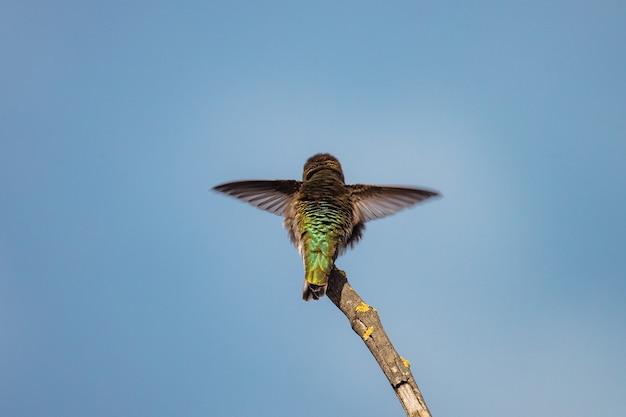 緑と茶色のハミング鳥が飛んでいます