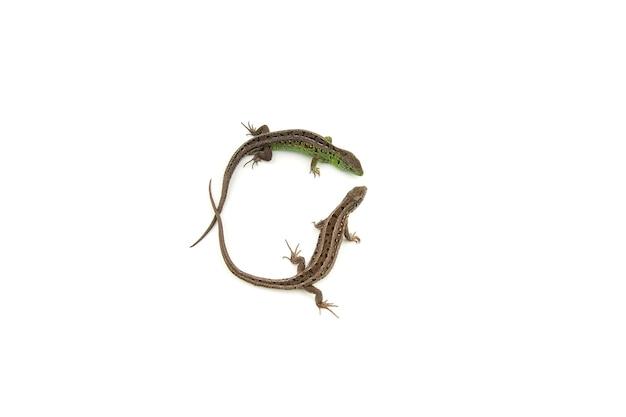 백색에 녹색과 갈색 모래 도마뱀