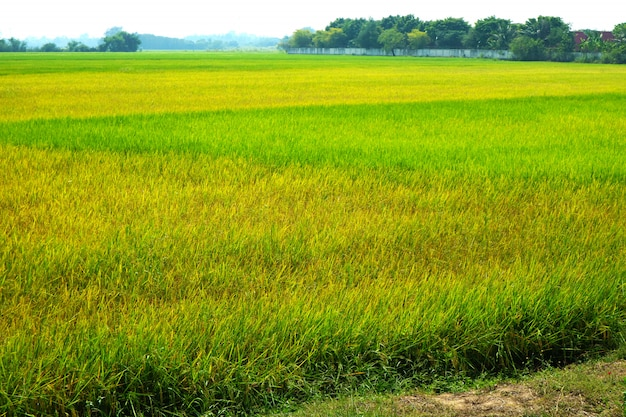 Зеленое и золотое сельское хозяйство жасминовая рисовая ферма и мягкий туман в утреннем голубом небе белое облако