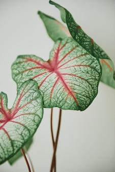 緑と赤の葉は背景をクローズアップ