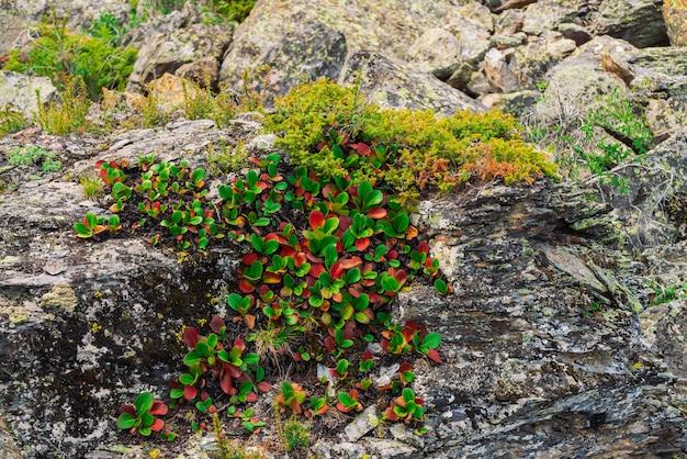 Зеленые и красные листья конца crassifolia бадана вверх. удивительное растение растет на скале с копией пространства. богатая растительность горной местности. горная флора. подробный естественный фон. прекрасная природа.