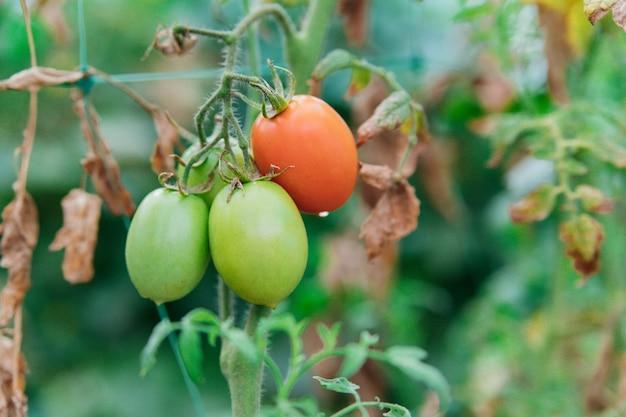 녹색 및 빨강 토마토가 나뭇가지에 매달려 있습니다. 정원과 온실에 있는 침대.