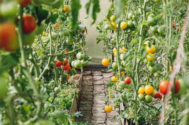 温室や菜園の緑と赤のトマト