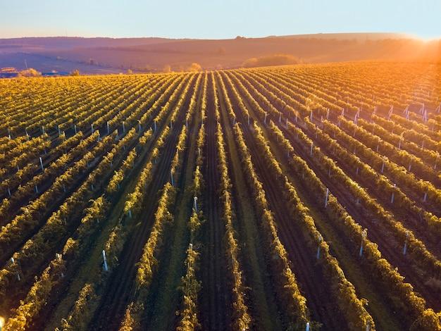 モルドバの日没時の緑と赤のブドウ園の列、輝くオレンジ色の太陽
