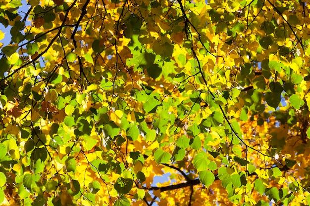 Зеленые и желтые листья липы в осенний сезон