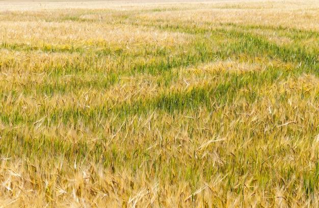 農地の緑と黄色のオーツ麦または他の穀物、収量と利益のための農業