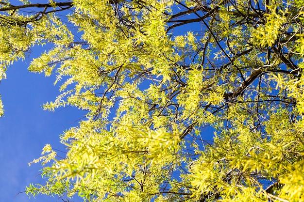 Зеленые и желтые ивы