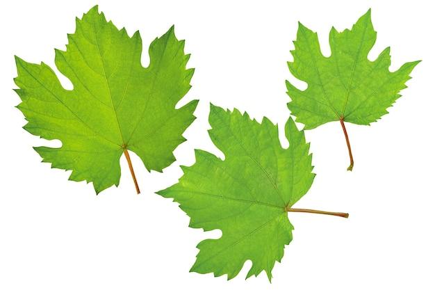 緑と若いブドウの葉