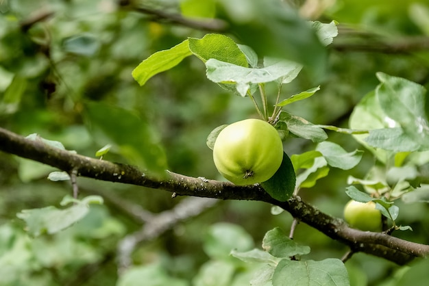 녹색 사과 과일은 여름 과수원의 사과 나무 가지에서 자랍니다.
