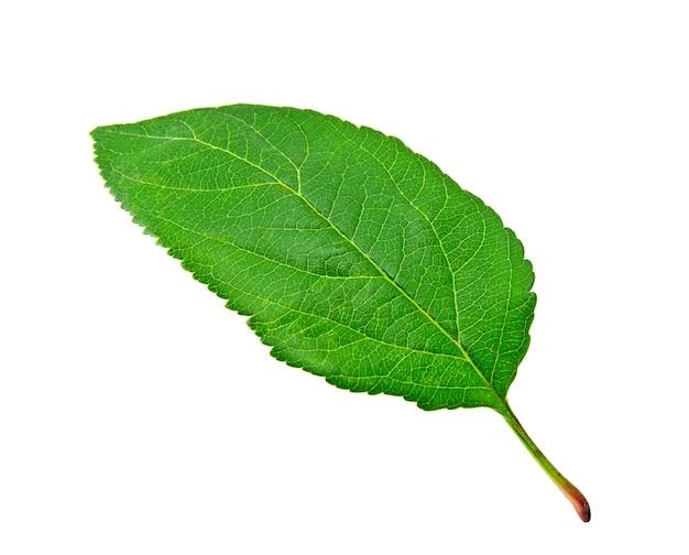 흰색 바탕에 녹색 사과 잎