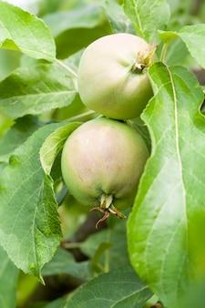 Зеленые листья яблони и яблоки, растущие на территории сада.
