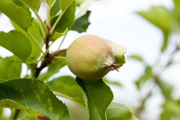 Зеленые листья яблони и яблоки, растущие на территории сада