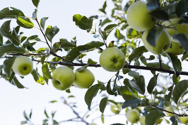 外の庭で果樹園の秋の収穫のリンゴの木の枝に青リンゴ