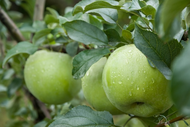 Green apples on a branch with raindrops, ready to be harvested. selective focus