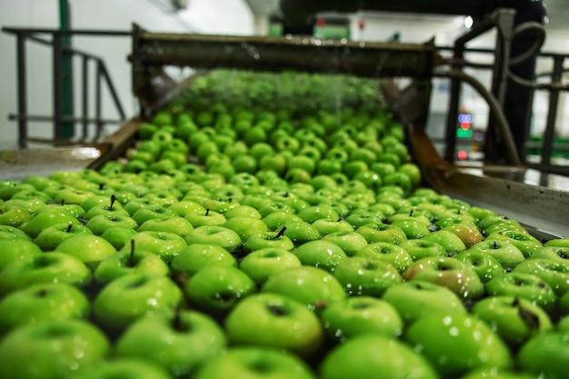 초점에 녹색 사과입니다. 유기농 사과의 농업 및 생산. apple 생산 및 유통 과정. 제조 산업의 자동화 기계에서 흐르는 물에서 사과 청소