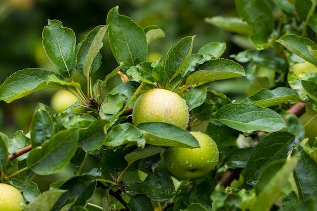 Зеленые яблоки в саду после дождя.