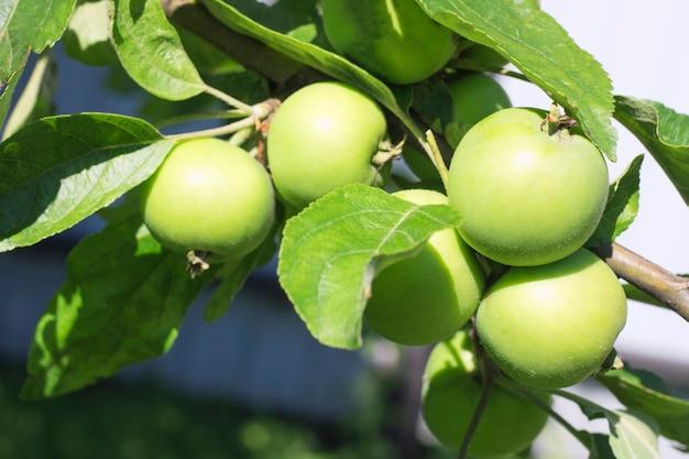 野外、選択的な焦点の枝に青リンゴ
