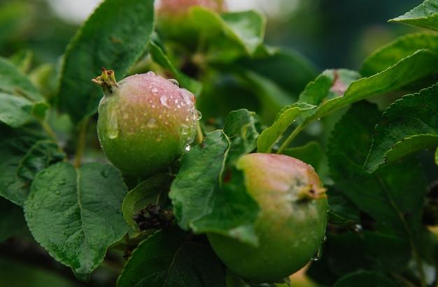 雨の中の枝に青リンゴ。葉や果実は雨滴で覆われています。