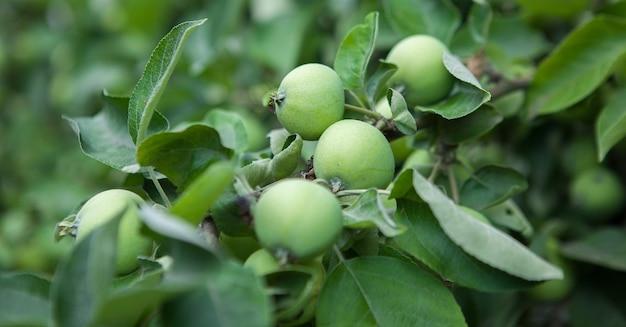 収穫する準備ができている枝、屋外、セレクティブフォーカスの緑のリンゴ。