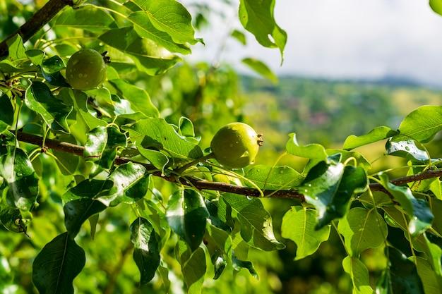 나무에 녹색 사과입니다. savsat, artvin - 터키