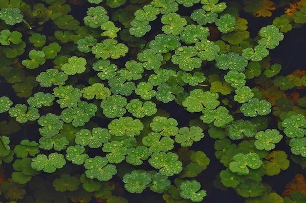Piante acquatiche verdi che galleggiano in una palude