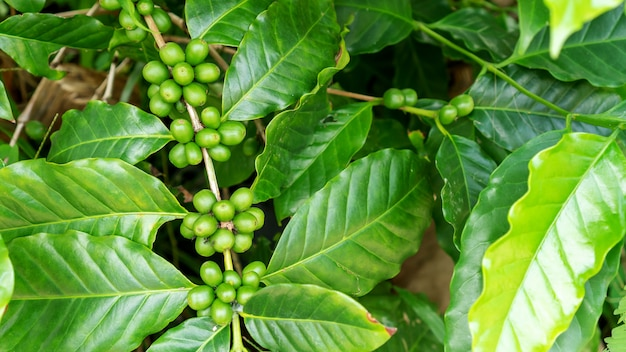 Green arabica coffee bean in a garden.