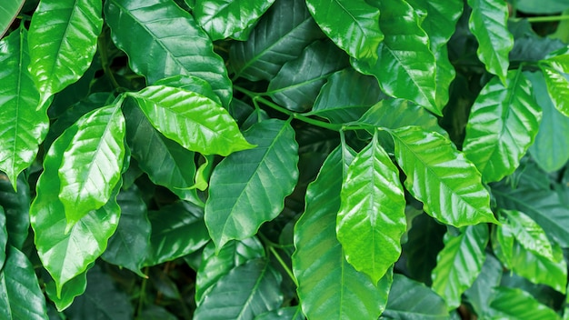 Green arabica coffee plant in a garden.
