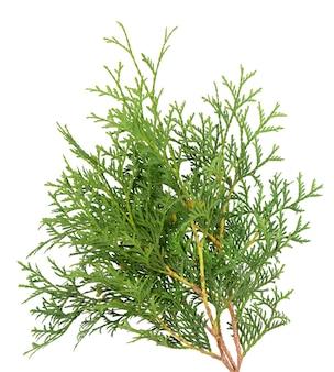Green arborvitae branch isolated on white